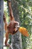 Orango Hutan che appende sull'albero allo zoo in Kuala Lumpur Fotografia Stock Libera da Diritti