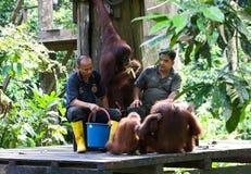 Orango-oetan di Borneose, orangutan di Bornean, pygmaeus del pongo fotografie stock libere da diritti