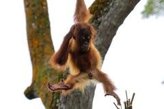 Orango utan Immagini Stock
