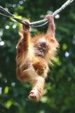 Orango Utan 1 Fotografia Stock Libera da Diritti
