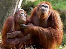 Orango Utan Fotografia Stock Libera da Diritti