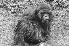 Orango Utan, grande, maschio adulto peloso rilassato sull'erba, ospiti aspettanti per alimentarlo fotografia stock libera da diritti