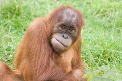 Orangoetan Royalty-vrije Stock Afbeeldingen