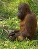 Orangoetan Stock Afbeelding