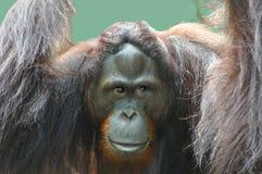 Orangoetan Stock Afbeeldingen