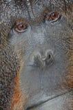 Orangoetan Royalty-vrije Stock Foto