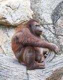 Orangoetan. Royalty-vrije Stock Fotografie