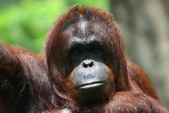Orangoetan stock foto