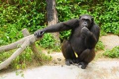 Orangoetan Royalty-vrije Stock Afbeelding