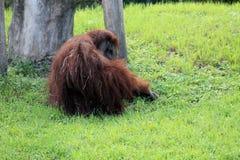 Orangoetan bij dierentuin Stock Foto