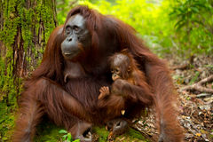 Orangoetan in Borneo Indonesië Stock Fotografie