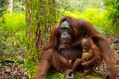 Orangoetan in Borneo Indonesië Royalty-vrije Stock Afbeeldingen