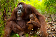 Orangoetan in Borneo Indonesië Royalty-vrije Stock Foto's