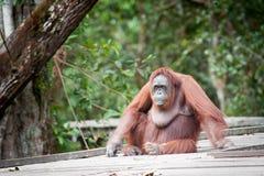 Orangoetan Borneo Indonesië Stock Afbeeldingen