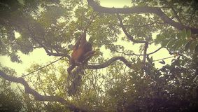 Orangoetan in de Dierentuin van Singapore Royalty-vrije Stock Afbeelding