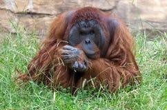 Orangoetan - diep in Gedachte Royalty-vrije Stock Afbeeldingen