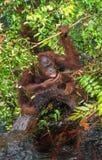 Orangoetan drinkwater van de rivier in de wildernis Stock Fotografie