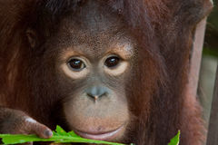 Orangoetan en blad Stock Foto's