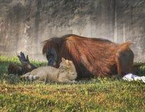 Orangoetan en Tabby Cat Friends Royalty-vrije Stock Afbeeldingen