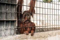 Orangoetan in gevangenschap royalty-vrije stock afbeelding