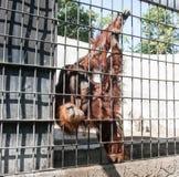 Orangoetan in gevangenschap stock afbeelding
