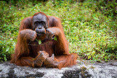 Orangoetan grote apen Stock Afbeeldingen