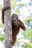 Orangoetan in het bos van Kalimantan Stock Afbeelding
