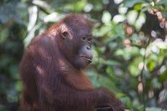 Orangoetan in het bos van Kalimantan Royalty-vrije Stock Afbeeldingen