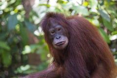 Orangoetan in het bos van Kalimantan Stock Foto