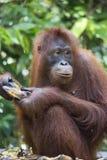 Orangoetan in het bos van Kalimantan Royalty-vrije Stock Fotografie