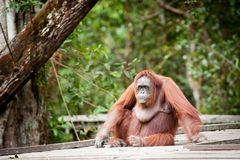 Orangoetan kalimantan tanjung die nationaal park Indonesië zetten Stock Foto's
