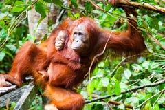 Orangoetan kalimantan tanjung die nationaal park Indonesië zetten Stock Afbeelding