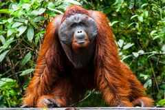 Orangoetan kalimantan tanjung die nationaal park Indonesië zetten royalty-vrije stock foto's
