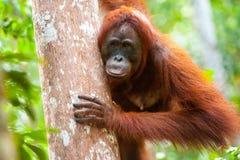 Orangoetan kalimantan tanjung die nationaal park Indonesië zetten royalty-vrije stock afbeelding