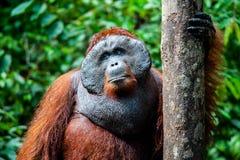 Orangoetan kalimantan tanjung die nationaal park Indonesië zetten Royalty-vrije Stock Fotografie
