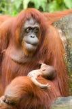 Orangoetan met baby Stock Afbeeldingen