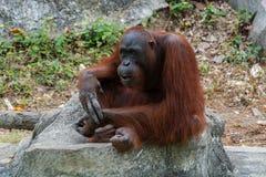 Orangoetan of Pongo-pygmaeus Stock Afbeeldingen