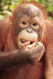 Orangoetan - sluit omhoog Stock Afbeelding
