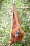 Orangoetan in Sumatra Royalty-vrije Stock Afbeeldingen