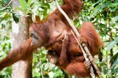 Orangoetan in tanjung die nationaal park zetten royalty-vrije stock foto's