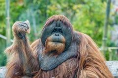 Orangoetanaap het eten Stock Foto