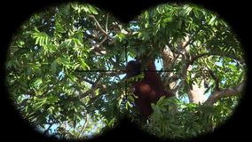 Orangoetanaap Pongo door Verrekijkers wordt gezien die Het letten op Dieren bij het Wildsafari stock footage