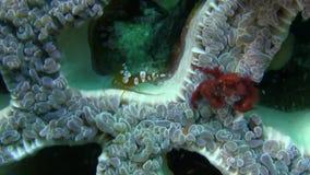Orangoetankrab Oncinopus SP en Sexy Anemone Shrimp Thor-amboinensis op het bellenkoraal in sterke stroom in Raja Ampat stock footage