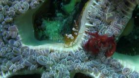 Orangoetankrab Oncinopus SP en Sexy Anemone Shrimp Thor-amboinensis op het bellenkoraal in sterke stroom in Raja Ampat stock video
