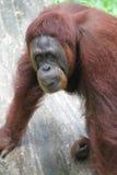Orangoetans Royalty-vrije Stock Foto