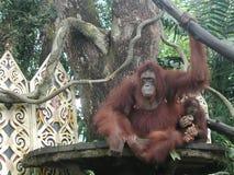 Orangoetans Stock Foto