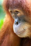 Orangoetans stock foto's