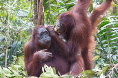 orangoetans Royalty-vrije Stock Fotografie