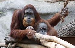 orangoetans Royalty-vrije Stock Afbeeldingen