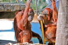 Orangoetans Royalty-vrije Stock Foto's